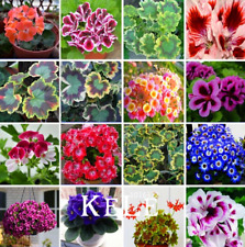 Rare Geranium Pelargonium Perennial Bonsai Flowers Plants 2021 New 100 PCS Seed