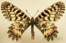 Zerynthia polyxena (Denis & Schiffermüller, 1775) male Czech