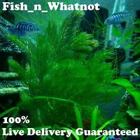 Hornwort Live Aquarium Plant and Pond Fast Growth Great for Beginners 1 Bag moss