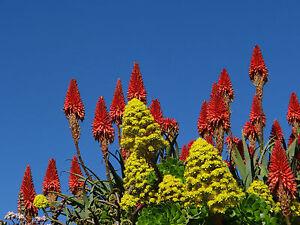 Succulent-Aloe-arborescens-hybrid-drought-tolerant-landscaping-20-cuttings