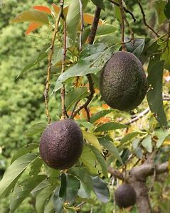 Avocado Scions Cuttings Russell And Oro Negro For Grafting onto your trees!!