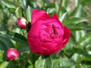 Rote Pfingstrose Karl Rosenfeld Starke Pflanze Im Topf Ebay