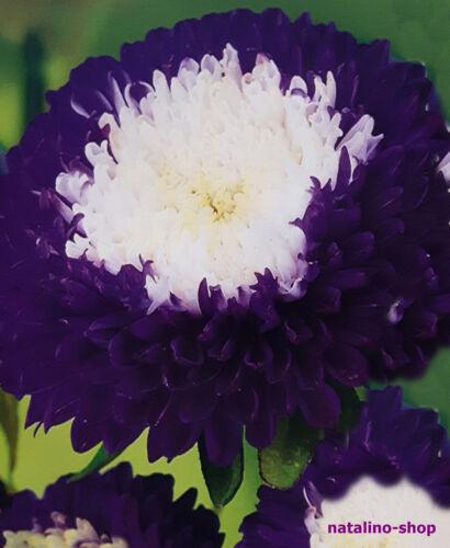 Beauté de l/'Ukraine Aster 50 graines Aster étoile filante pompon-Aster