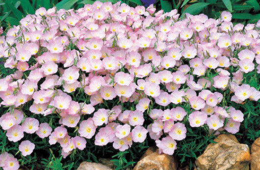 Pink Primrose Seeds, Evening Primrose, Heirloom Flower, Non-Gmo Perennial 100ct