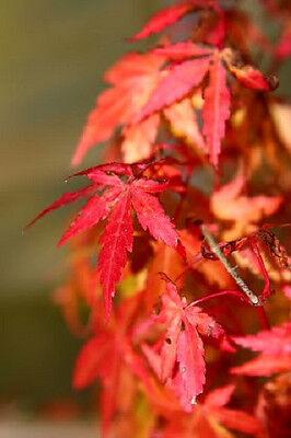 10 JAPANESE MAPLE TREE Acer Palmatum Red Orange Seeds *Comb S/H