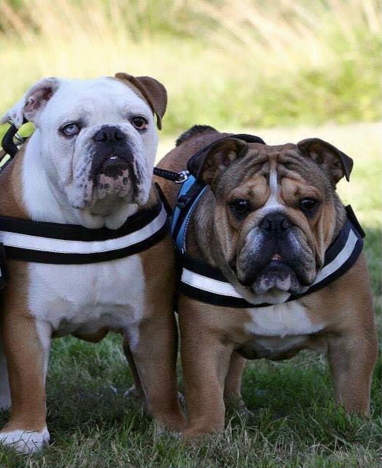 Engelsk Bulldog, hund, 3 år