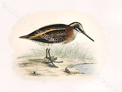 Great Snipe Game Bird ART PRINT FREE UK P/&P