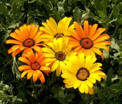 Fleur African Daisy Dimorphotheca 600 Finest Graines de fleurs