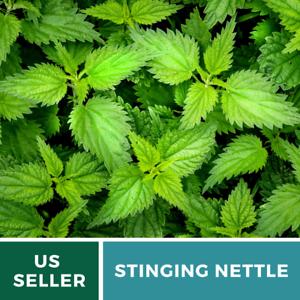 100 Seeds Stinging Nettle