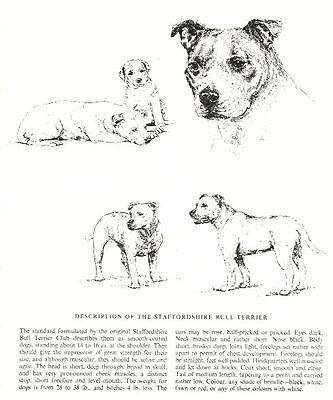 BOXER DOG VINTAGE 1963 PRINT SKETCH PAGE ARTIST BRIDGET OLERENSHAW