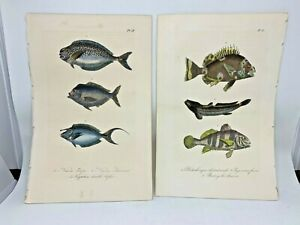 Original Antique Hand Colored Fish Print Lacepede 1840 Plates 59 & 61 Cuvier