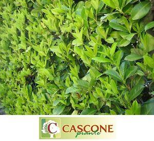 Caricamento Dellu0027immagine In Corso Pianta Albero Di  Prunus Laurocerasus Lauroceraso Lauro Ceraso