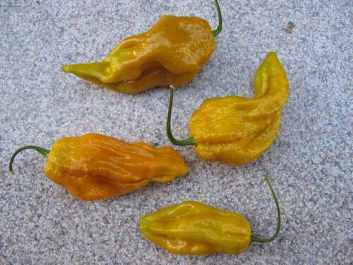 RAR Bhutlah Mustard 10 Samen Chilisamen ULTRA SCHARF