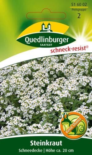Pietra crauti neve soffitto Lobularia maritima 516002 Quedlinburger ar5353