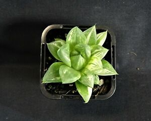 Haworthia-cuspidata-variegata-x-1