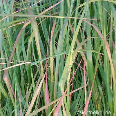 Winterhartes Ziergras pflanzen und samen collection on ebay