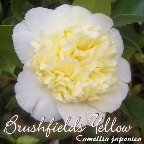 """Trentenaire /""""brushfields YELLOW/"""" 6 à 7 ans plante CAMELLIA JAPONICA"""