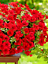 Seeds-flower-Petunia-x-hybrida-Avalanche-F1-Red-from-Ukraine thumbnail 8