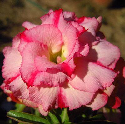 "Adenium Obesum Desert Rose ""wanida"" 100 Seeds"