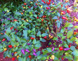 Habanero-Chili-Bolivian-Rainbow-30-Stk-Samen-Schaerfe-7