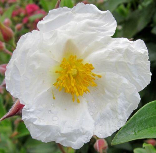 superbes fleurs cistus laurifolius rock rose 150 Graines Laurier feuilles zistrose