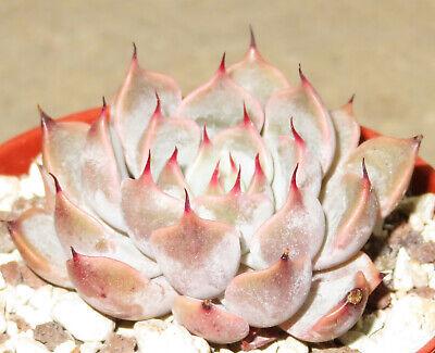 Echeveria cv Candy 2x Succulent Plant Leaf Clone Propagation XLC