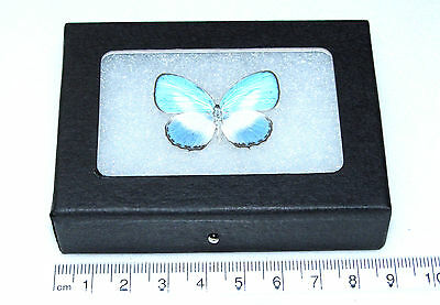 REAL BLUE INDONESIAN DANIS LYCAENIDAE FRAMED BUTTERFLY INSECT