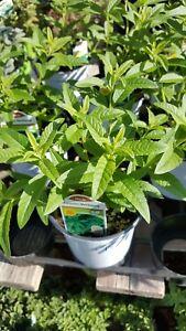 Lemon-Verbena-Aloysia-triphylla-1-Plants-Ship-in-3-034-Pot