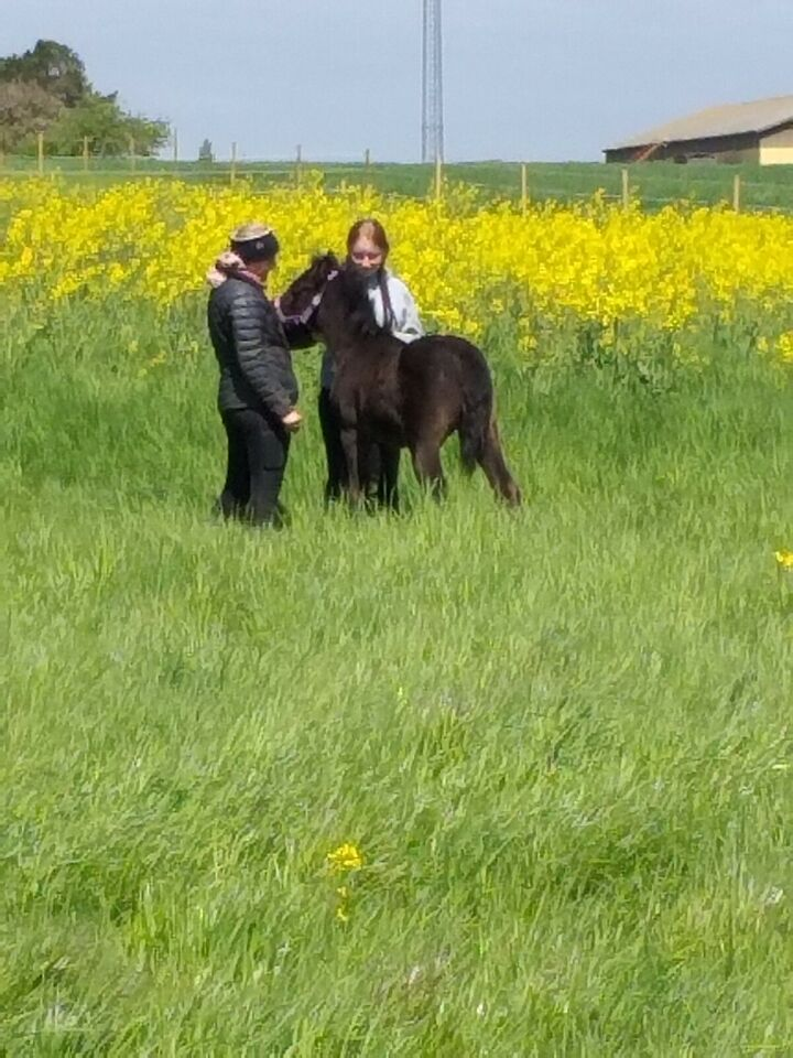 Dansk Sports Pony (DSP), hoppe, 0 år
