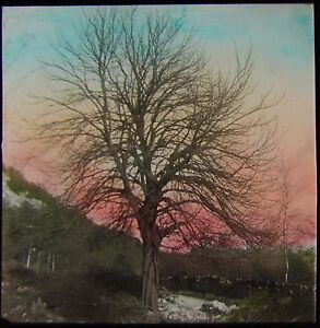 Glass-Magic-Lantern-Slide-HORSE-CHESTNUT-C1920-PHOTO-TREES-NATURE-STUDY