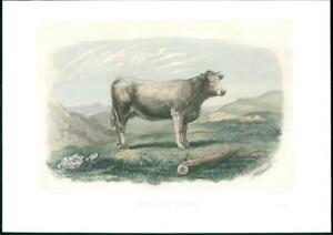 1864-Large-Antique-Lithograph-CATTLE-BULL-Cow-VACHE-DU-GLANE-Baudement-31
