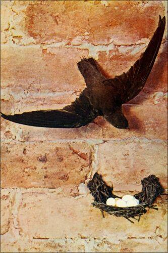 1900 Poster Chimney Swift Many Sizes; Chaetura Pelagica