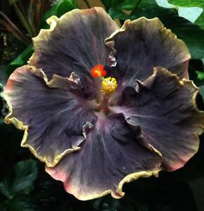 10 Rare Yellow Black Hibiscus Seeds Giant Dinner Plate Flower Garden ...