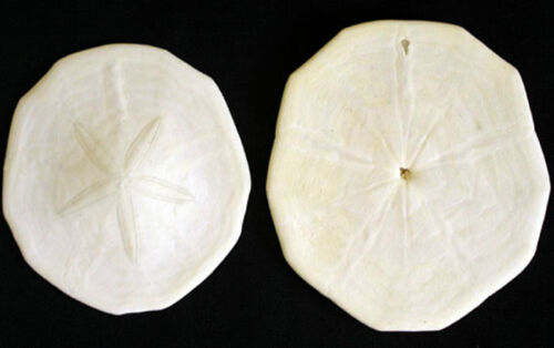 "Pancake Sand Dollar~Phylum~ 3-1//2/""-4/""  Starfish-Urchin-Biscuit~Select 1-3Pcs."