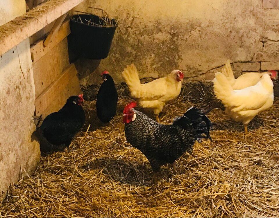 Høns, 1-2 stk.