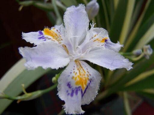 IRIS TECTORUM CRUELLA 9 CM JAPANESE ROOF IRIS GARDEN CONTAINER PLANT