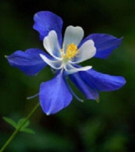 Aquilegie Seeds Columbine Seeds Colorado Blue 1,000 BULK SEEDS