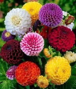 Dahlia-Seeds-Pom-Pom-Mix-Dahlia-Seeds-50-Flower-Seeds