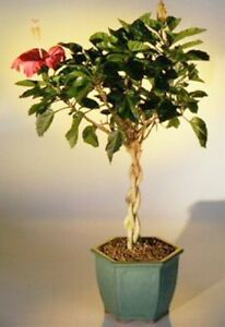 Hibiscus Bonsai With Braided Trunk Red Flowering Tropical Bonsai 12