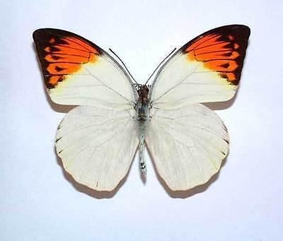 HEBOMOIA GLAUCIPPE MINDORANA unmounted butterfly