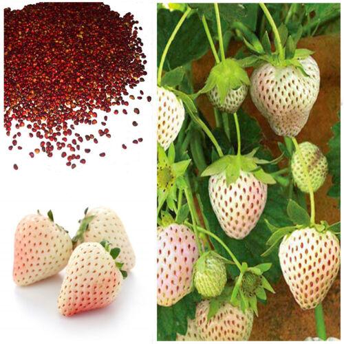 White Alpine Strawberry Fragaria Vesca Pineberry Sweet Pinapple Flavour Seeds