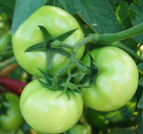 Original Package 30 Green Tomato Seeds Emerald Lycopersicon Fruit Plants B043