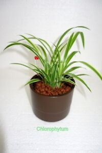 Hydrokultur-Chlorophytum-ocean-11-9-Ubertopf-Anzeiger-Komplett-Hydropflanze