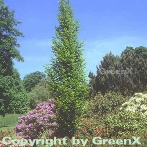 Carpinus betulus Hain faggio bianca FAGGIO 125-150cm