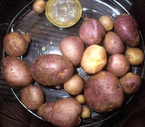 10 graines-pas de tubercules FENDLER sauvages de la pomme de terre-Solanum fendleri-RARE légumes