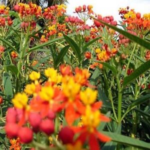 Butterfly-Tropical-Milkweed-Asclepias-Curassavica-100-Seeds