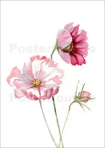 Premium-Poster Kosmea Verbrugge Watercolor