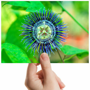 Passionflower-Green-Plant-Small-Photograph-6-034-x-4-034-Art-Print-Photo-Gift-3555