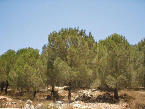 10 Israeli  Pine Seeds Jerusalem Stone Pinus Pinea Christmas Tree Bonsai אורן