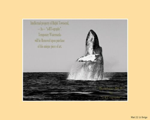 "/""Breaching/"" Humpback Whale Play C-B/&W ArtPhoto Dig-FILES Prints FrameReady LE"